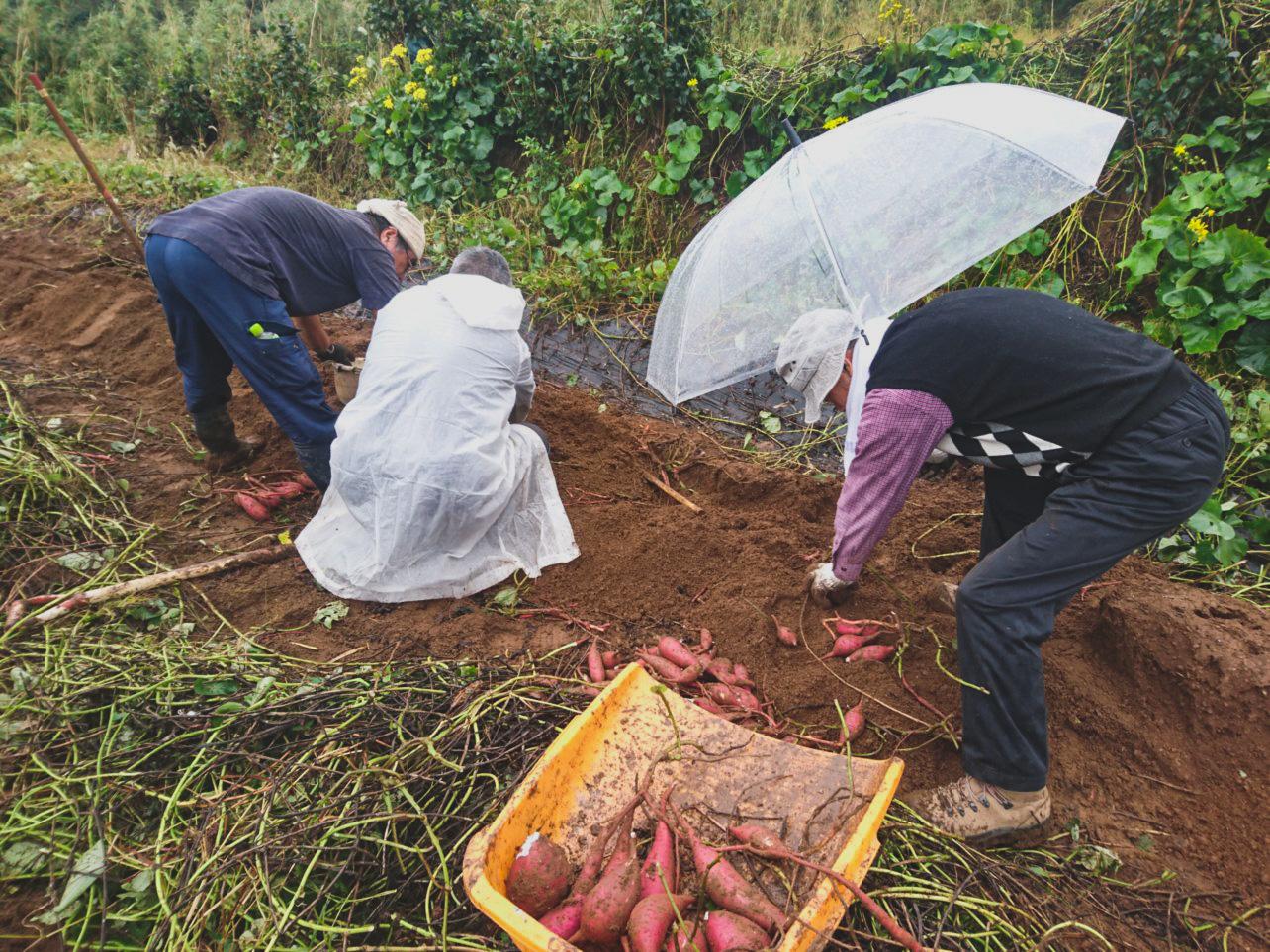 ベニオトメ収穫