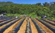 三島村のベニオトメ栽培について、老人会や農家の方々の協力を頂いて10年以上栽培しています。